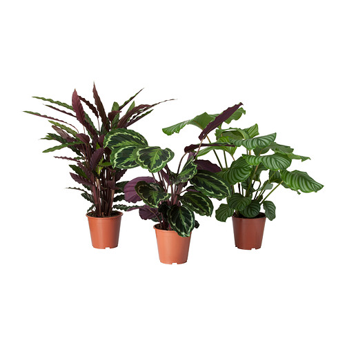 calathea-planta__ikea