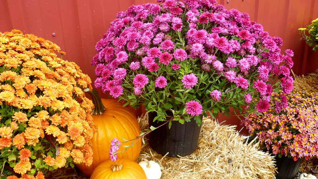 calabazas y flores
