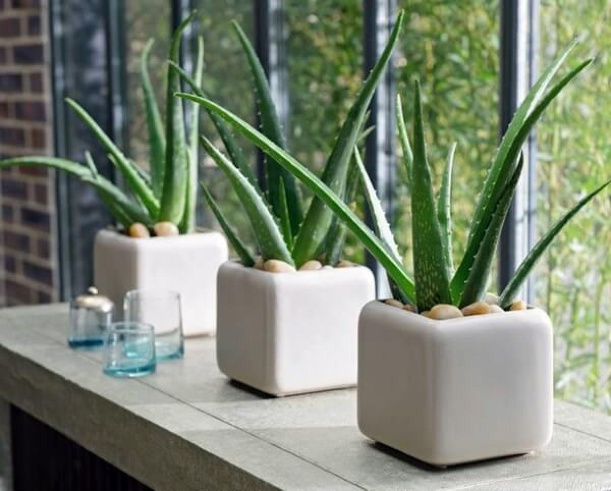 Plantas de interior - aloe vera