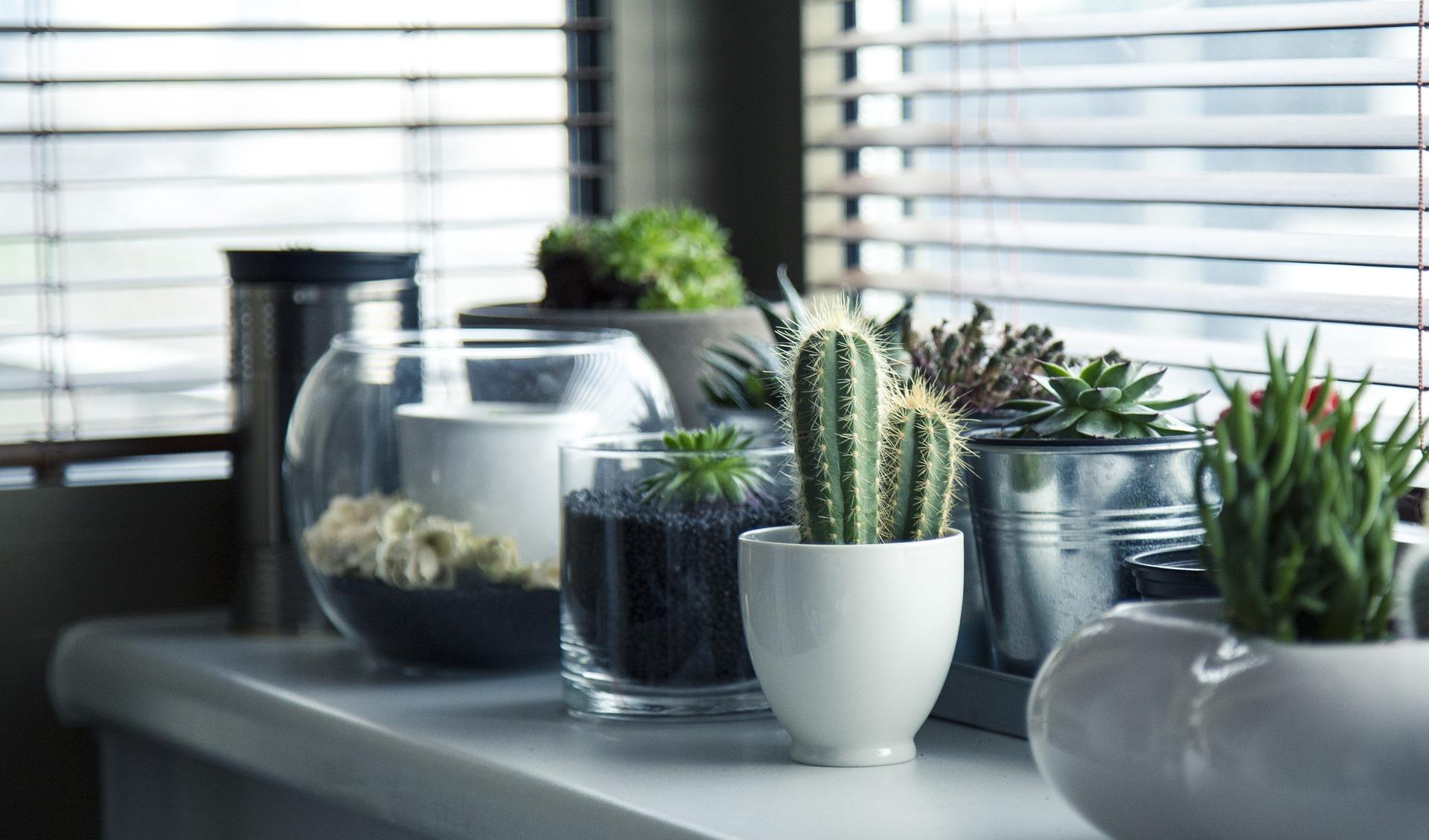 Plantas de interior - Los cactus y las suculentas
