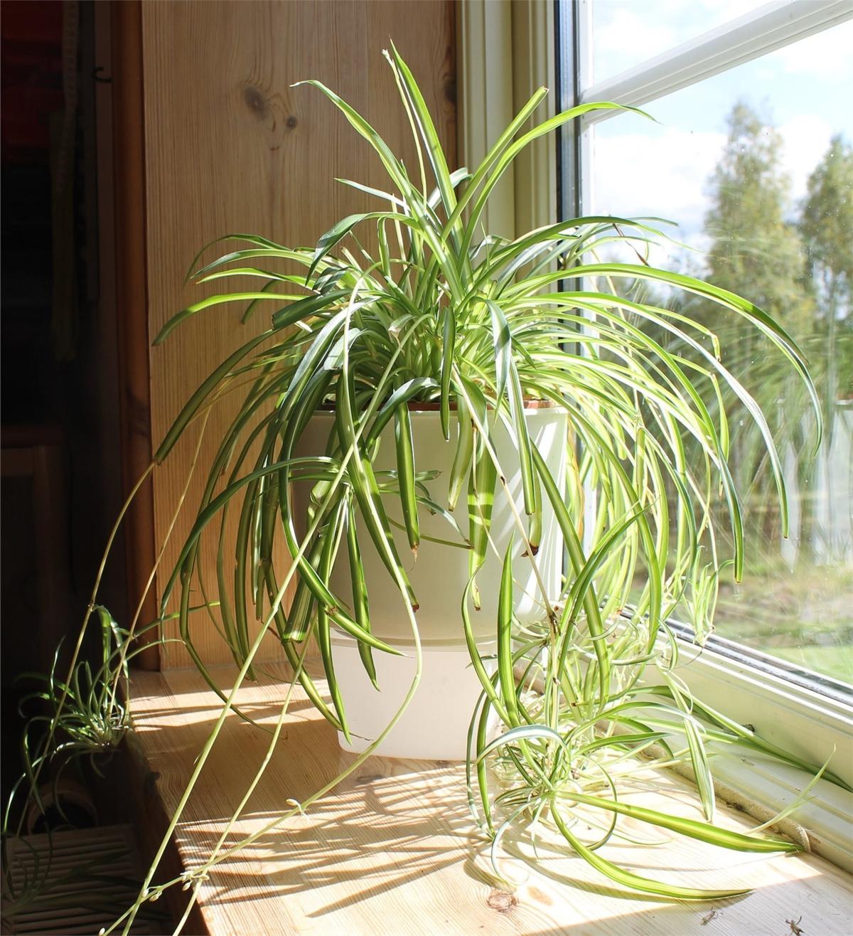 Plantas de interior - Planta araña o lazo de amor