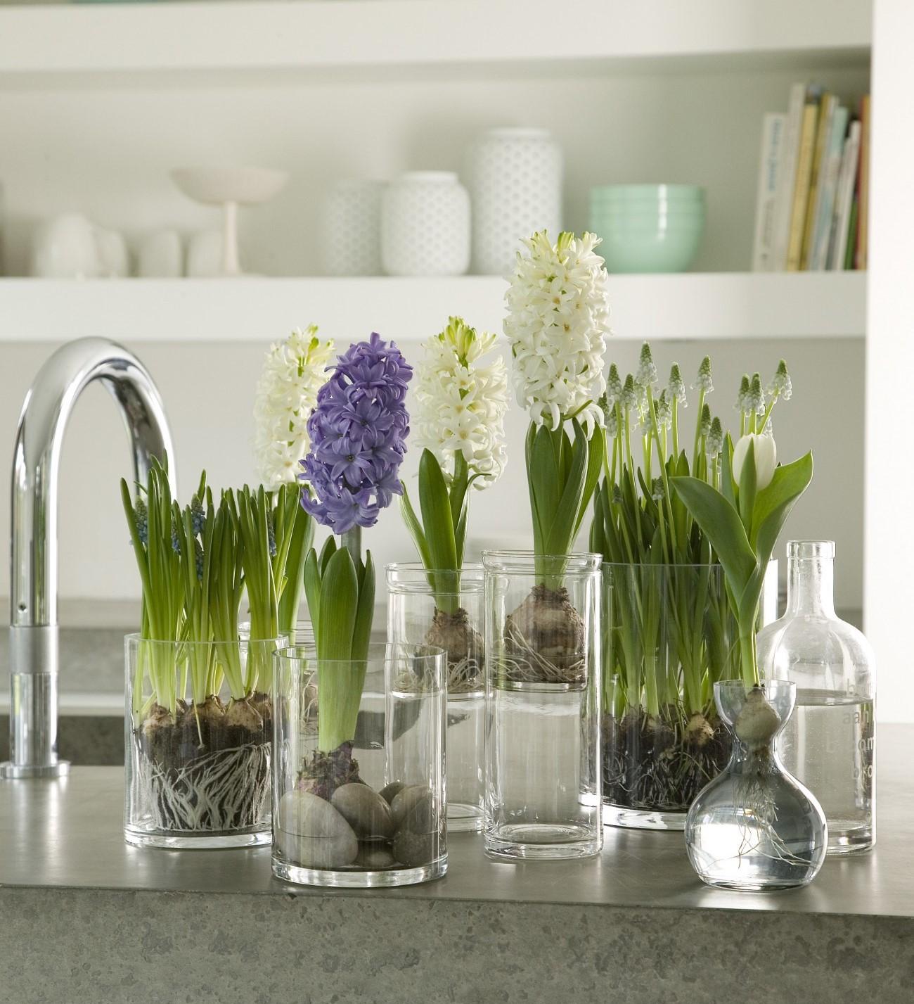 Plantas de interior - jacintos