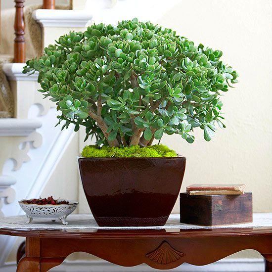 Plantas de interior - La planta de jade