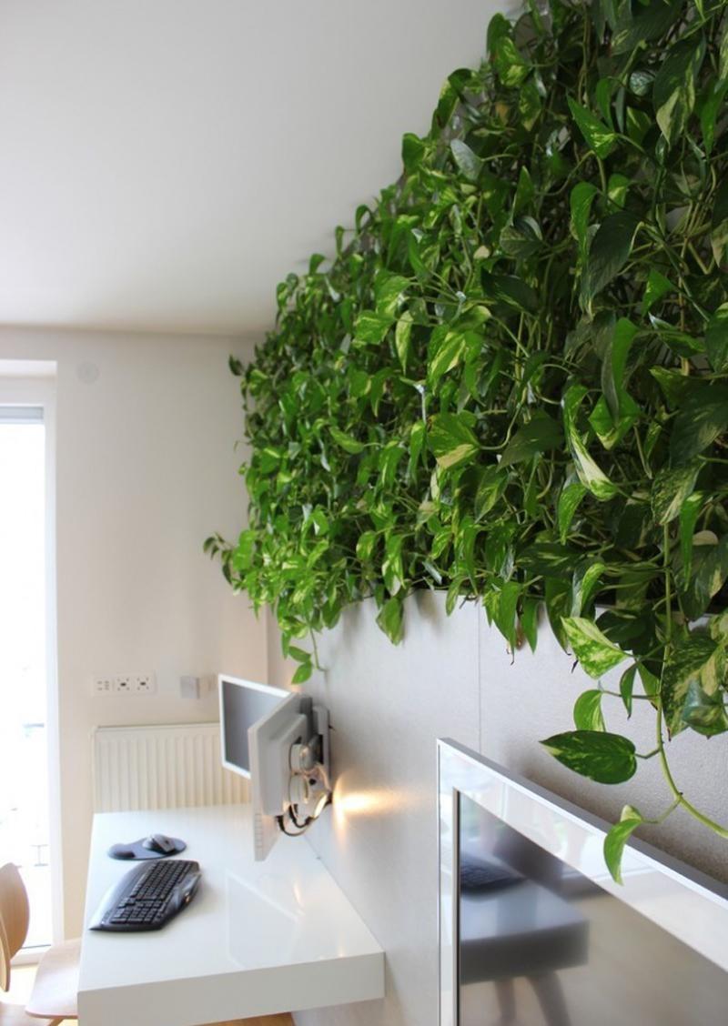 Plantas de interior - pothos