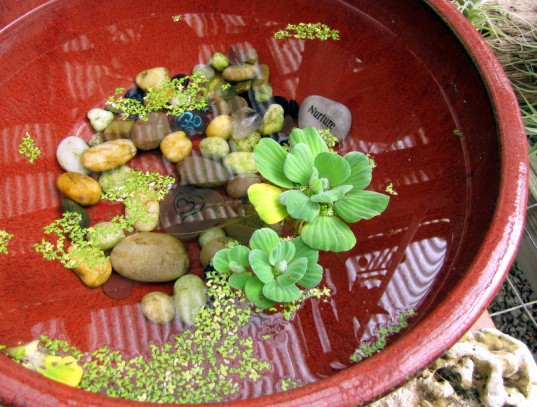 Plantas de interior - Lechuga de agua