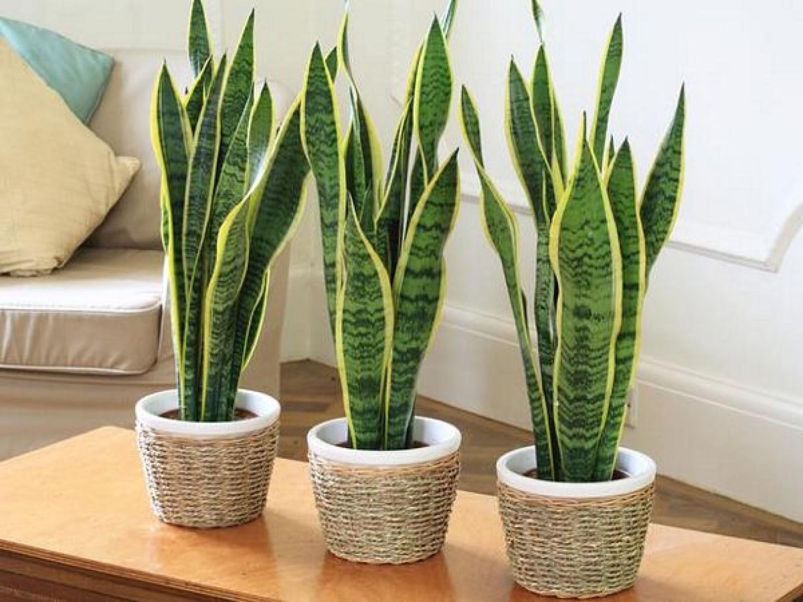 Plantas de interior - Planta de serpiente