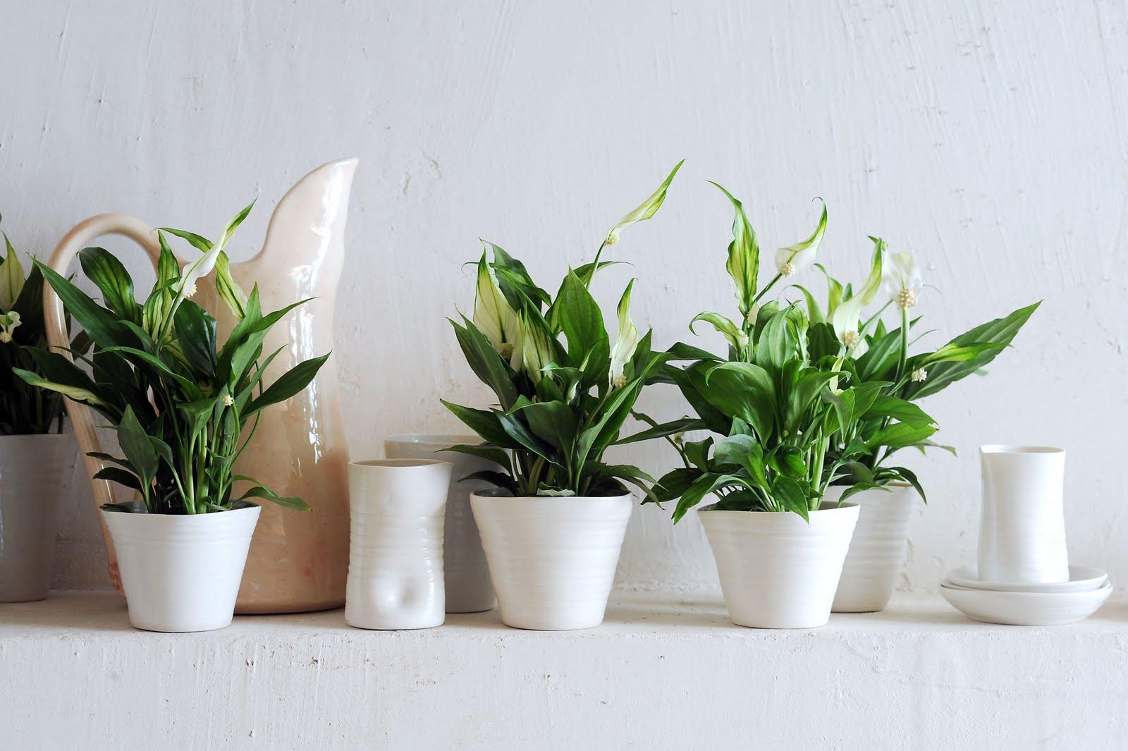 Plantas de interior - Flor de la paz