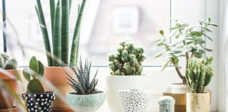 cactus - decoración
