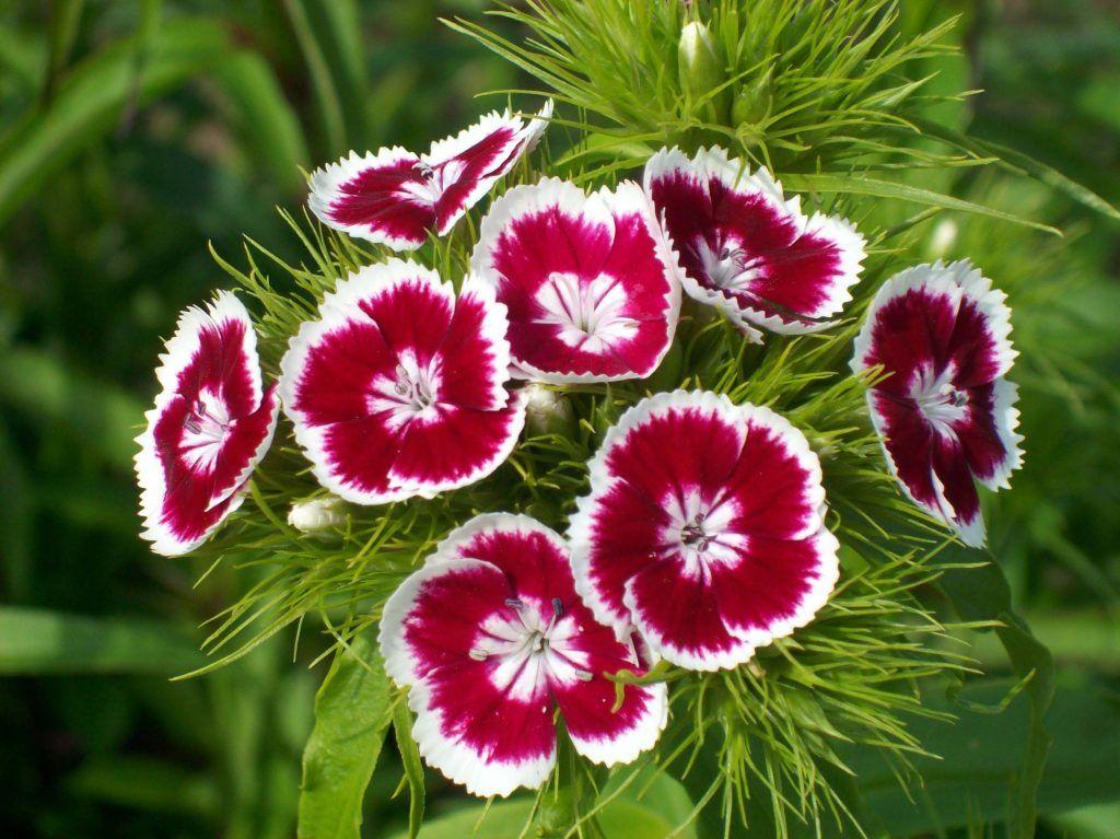 Plantas de exterior - Clavelina