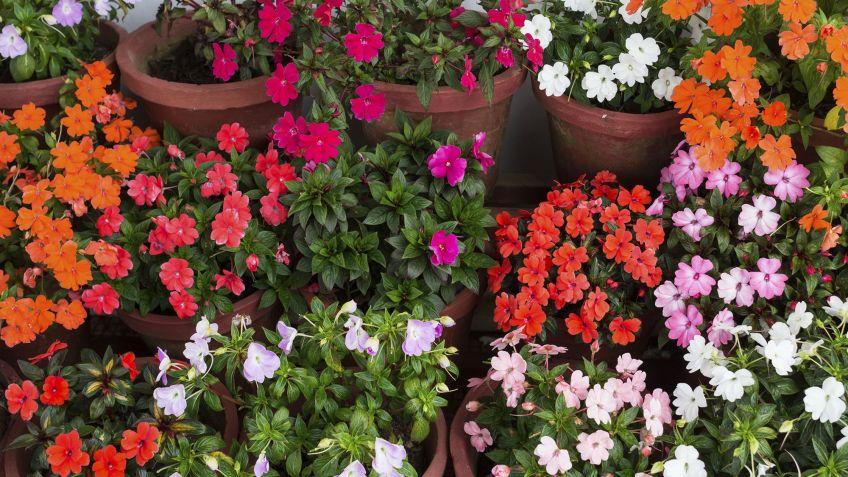 Plantas de exterior - Alegría