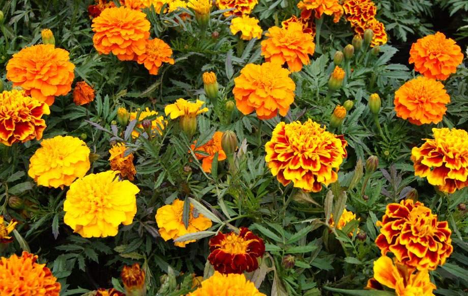 Plantas de exterior - Tagete