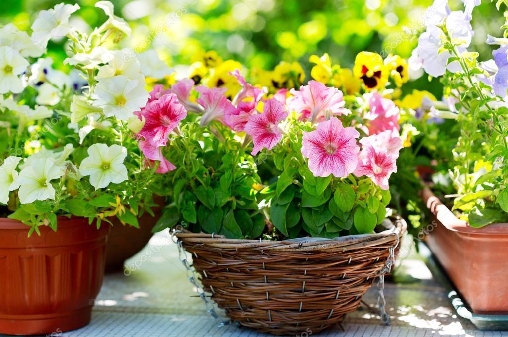 Plantas de exterior - Surfinias y Petunias