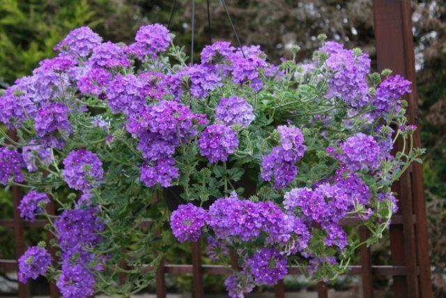 Plantas de exterior - Verbena