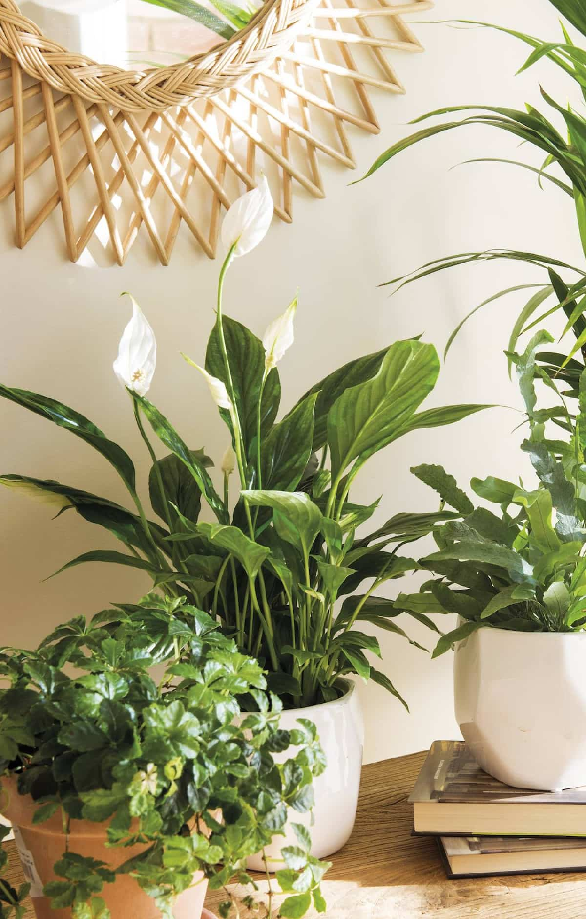 plantas de interior ideales para decorar tu hogar durante todo el ano 3