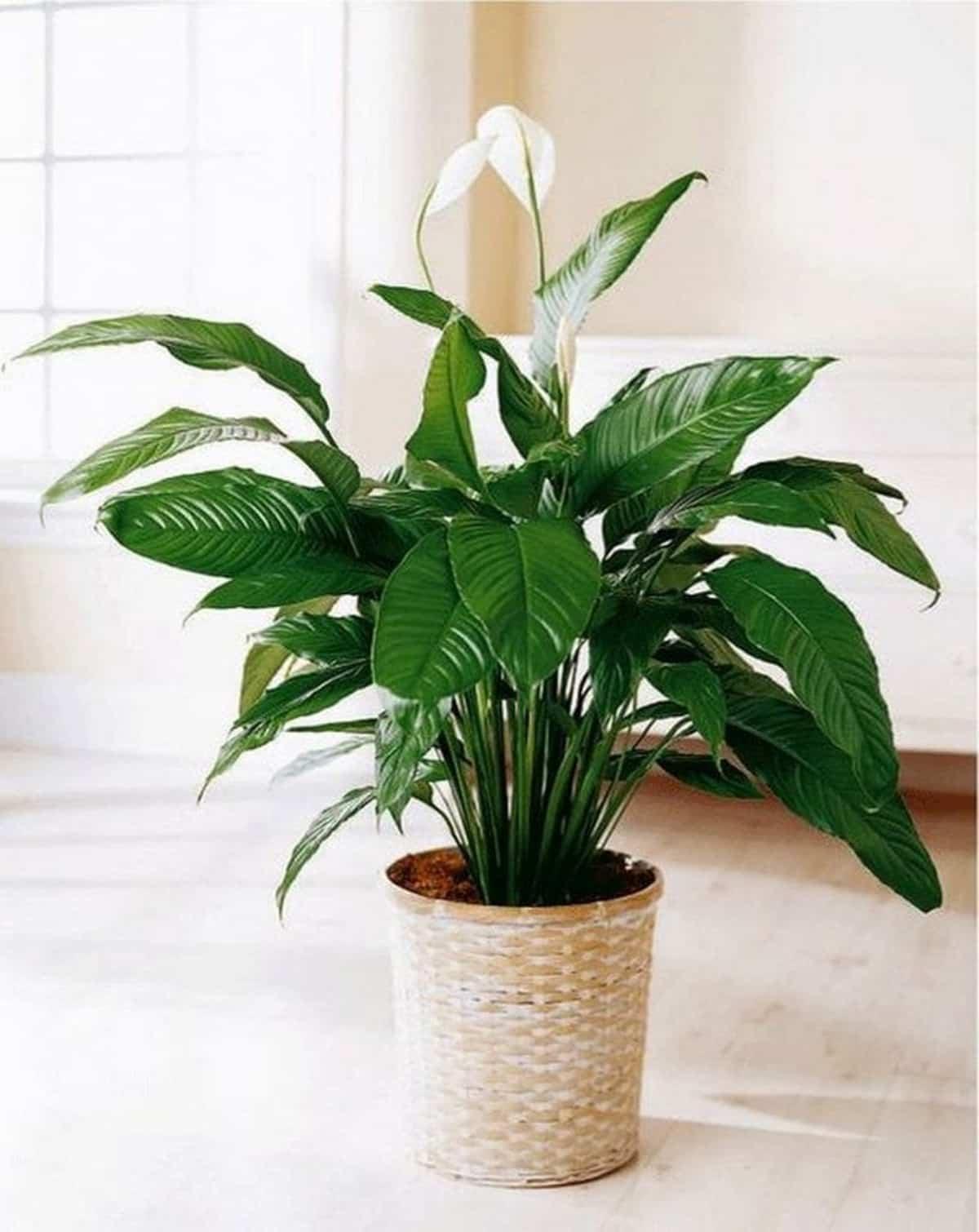plantas de interior que purifican el aire de tu hogar 8