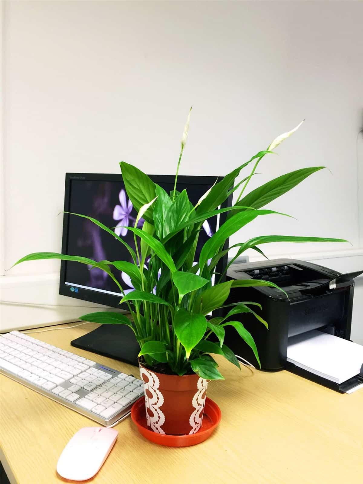 plantas para colocar junto al ordenador 3