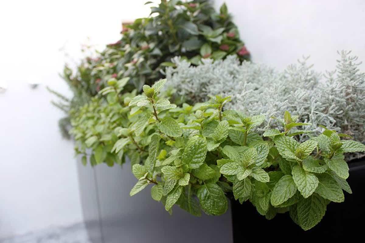 plantas para hacer tu propio jardin medicinal 5