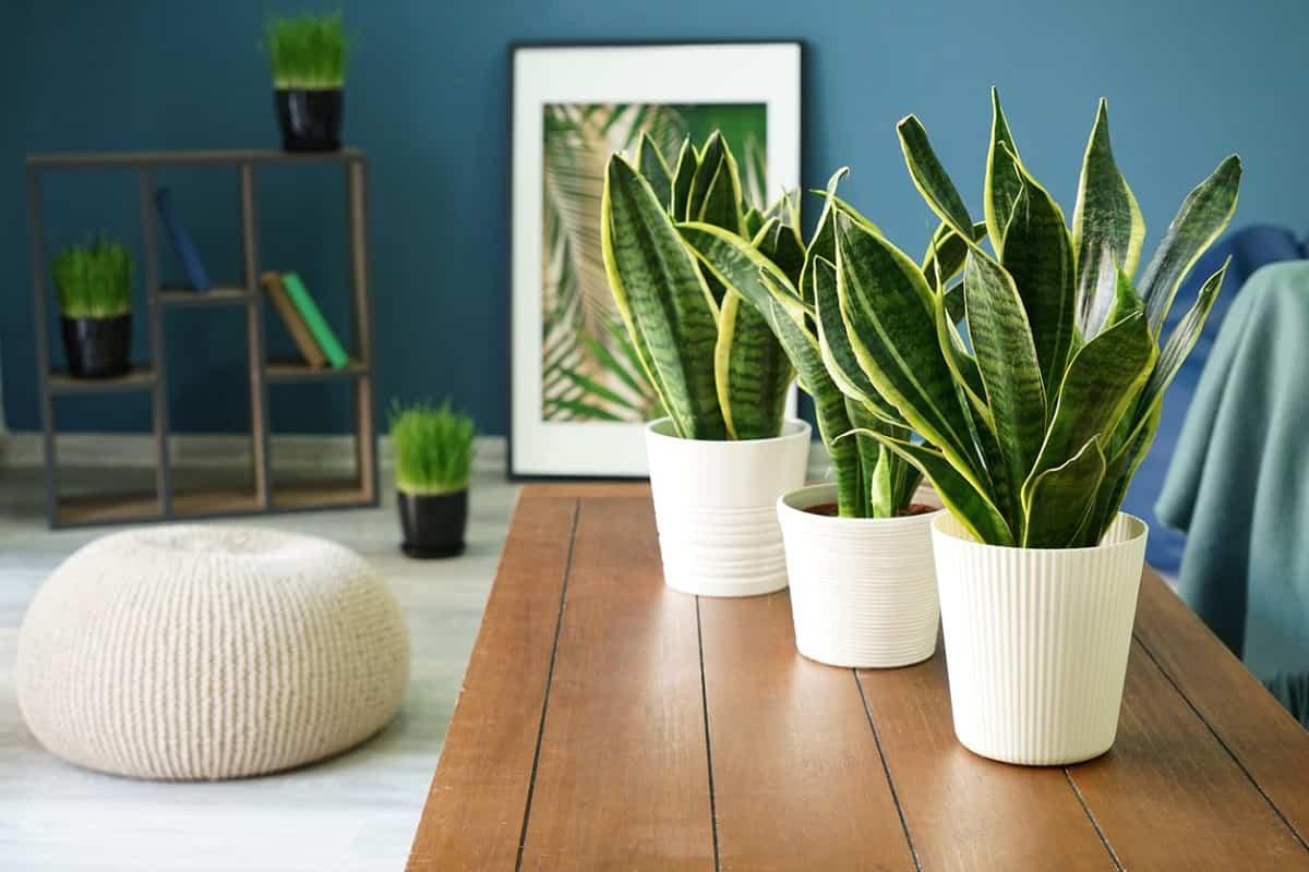 descubre las plantas de interior que no necesitan luz natural 4