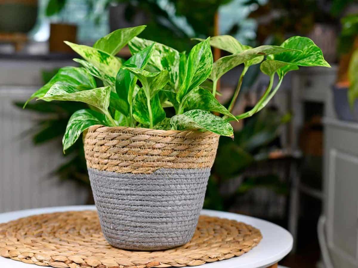 descubre las plantas de interior que no necesitan luz natural 8