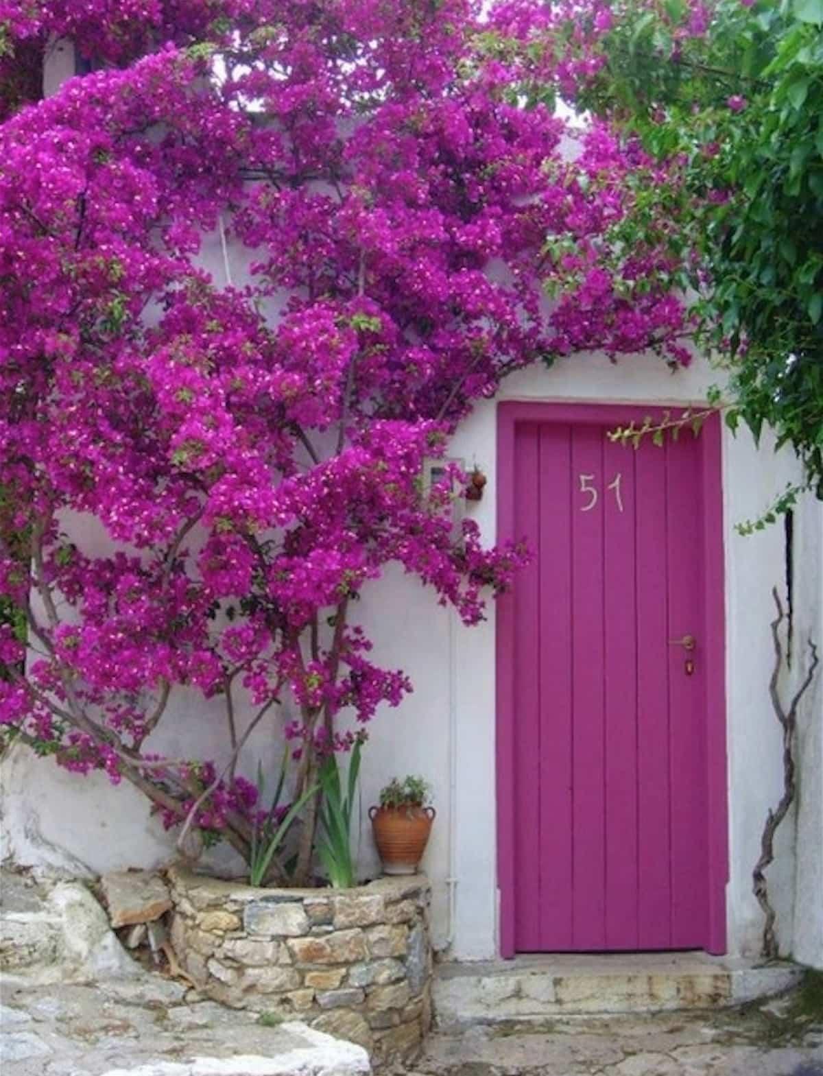 llena tu hogar de color con buganvillas 1