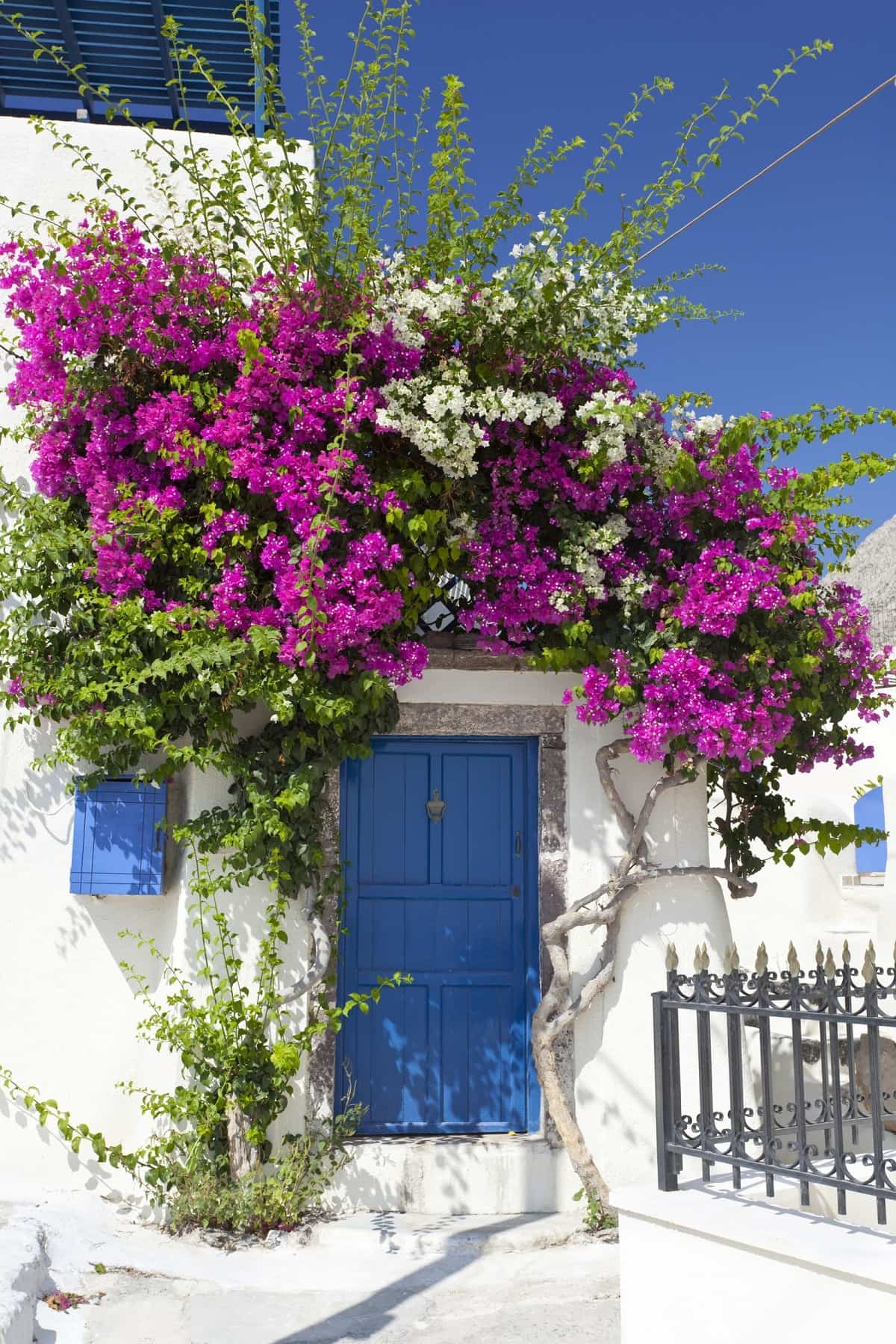 llena tu hogar de color con buganvillas 3