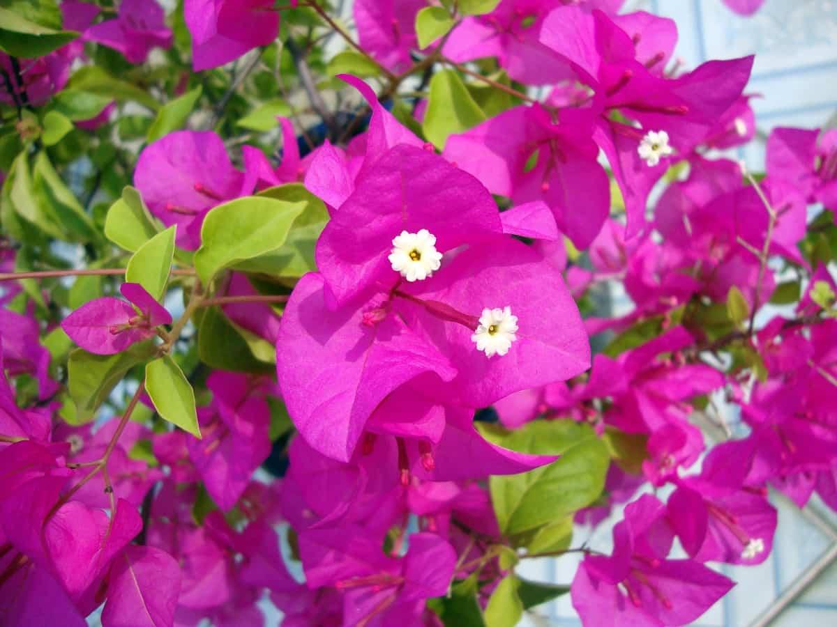 llena tu hogar de color con buganvillas 4
