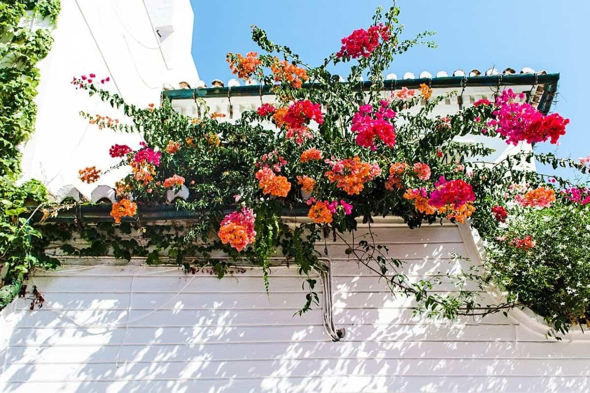 llena tu hogar de color con buganvillas 5