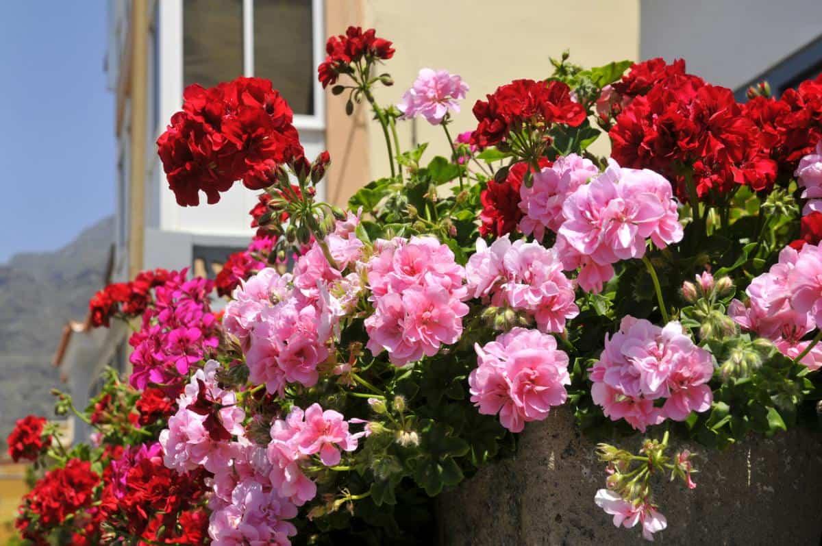 plantas de verano resistentes al sol y al calor 4